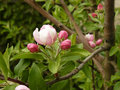 Spring apple tree beginning to bloom Stock Photography