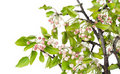 Spring apple-tree with pink buds Stock Photography