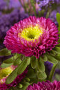 Spring aster. floral background closeup Stock Image