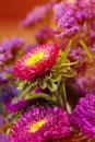 Spring aster, floral background closeup Stock Image