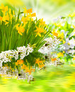 Spring awakening daffodils and cherry blossoms Royalty Free Stock Photos