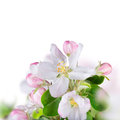 Spring background with beautiful blossoms Stock Images