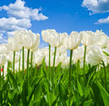 Spring background with beautiful white tulips Royalty Free Stock Photo