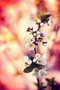 Spring background with blooming flower tree cherry, bokeh bright Royalty Free Stock Photo