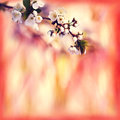 Spring background with blooming tree cherry, bokeh bright red, o Royalty Free Stock Photo