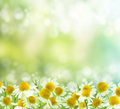 Spring background chamomile natural green with selective focus wild daisies field Stock Images