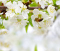Spring background with cherry blossom Stock Images
