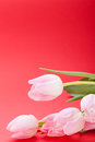 Spring background of dainty pink tulips Royalty Free Stock Image
