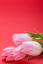 Spring background of dainty pink tulips symbolic seasonal with fresh green leaves and copyspace with focus to the flowers Stock Photos