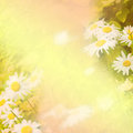 Spring background with daisies yellow Stock Image