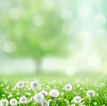 Spring background with dandelion jn green Royalty Free Stock Photos