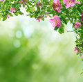 Spring background with green leaves and wild roses Stock Photography