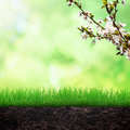 Spring background growing grass in the soilwith cherry brunch Royalty Free Stock Image