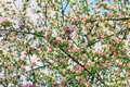 Spring background of twigs blossoming apple tree