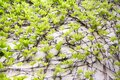 Spring background with Victoria creeper five-leaved ivy leaves creeping on white wall in sunlight, green colors Royalty Free Stock Photo