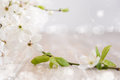 Spring background with white blossoms plum corner composition text space Royalty Free Stock Photography