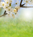 Spring background with white flowers Royalty Free Stock Photo