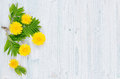 Spring background. Yellow dandelion flowers and green leaves on light blue wooden board with copy space, top view.