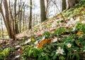 Spring beams beautiful white anemones Royalty Free Stock Photo
