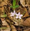 Spring Beauties Wildflowers - Claytonia virginica Royalty Free Stock Photo