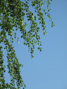 Spring Birch on blue sky Royalty Free Stock Images