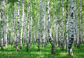 Spring birch forest with fresh greens Royalty Free Stock Photo