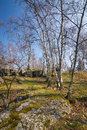 Spring birch grove with blue sky Stock Photos
