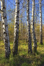 Spring In Birch Grove, Nature ...