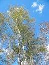 Spring. Birch tops against blue sky Royalty Free Stock Images