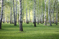 Spring birch trees in forest beautiful birch grove birch wood green landscape Stock Photos