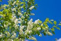 Spring bird cherry blossoms on a sunny day Royalty Free Stock Image