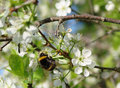 Spring bloom bumblebee on a branch of a flowering tree Stock Photos