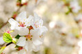 Spring bloom close up with very soft background Royalty Free Stock Photo