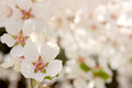 Spring bloom close up with very soft background Royalty Free Stock Images