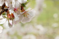 Spring bloom close up with very soft background Royalty Free Stock Photography