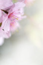 Spring bloom close up with very soft background Stock Photography