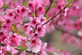 Spring bloom pink cherry blossom in time Royalty Free Stock Images