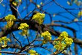 Spring bloom on tree branches fresh green buds. blue sky. shallow depth of field