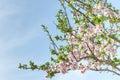 Spring Blooming Almond Tree Wi...