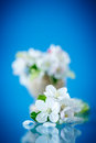 Spring blooming apple tree Royalty Free Stock Photo