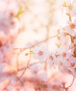 Spring blooming tree dreamy sunny background beautiful fine art photo style little white flowers on branch over sunset garden Stock Photography
