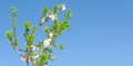 Spring blooming tree with white pink flowers and foliage against Royalty Free Stock Photo