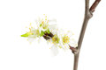 Spring blooming twig isolated on white background Stock Photography