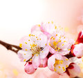 Spring blossom apricot flowers border art design Royalty Free Stock Photography