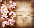 Spring blossom apricot flowers over wooden background Royalty Free Stock Images