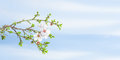 Spring blossom apricot tree against blue sky Royalty Free Stock Photo