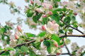 Spring blossom: branch of a blossoming apple tree on garden background Royalty Free Stock Photo