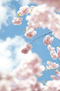 Spring blossom cherry tree Royalty Free Stock Images