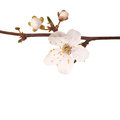 Spring blossom flowers on white background Stock Images