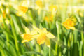 Spring blossom narcissus daffodils yellow sunlit flowers vivid with sunbeams and rays on blurred bokeh background filtered and Royalty Free Stock Images